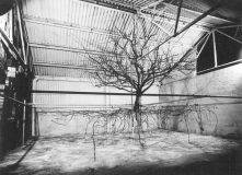 Katie Holten, Photograph of an excavated Cox's Pippen tree re-erected in a shed in East Malling(Original photograph(1952) courtesy of David JohnsonEst Malling Research, UK), 2005, s/w lambda-print, 30 x 40 cm, Ed. 15 + AP, Courtesy VAN HORN, Düsseldorf
